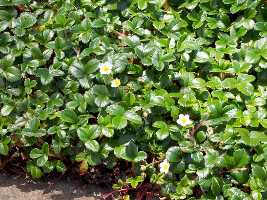 Fragaria chiloiensis