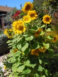 Sunflowers in Longfellow