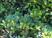 When the Coffeeberry blooms, it's covered in bees.