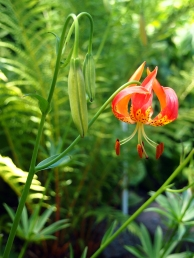 Lilium pardalinum-Leopard Lily