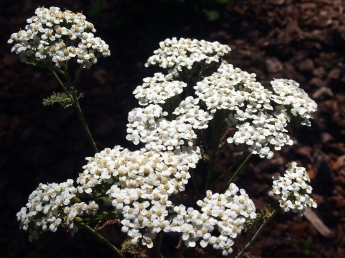 Achillea millefolium-Common Yarrow attracts butterflies and other insects.