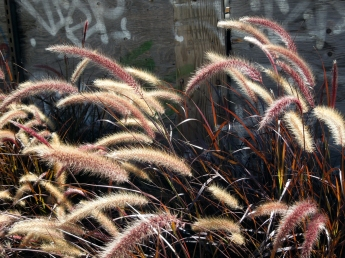 Fountain Grass & Graffiti