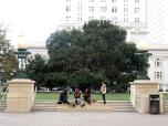 Jack London Oak at Frank Ogawa Plaza