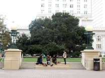 Jack London Oak at Frank Ogawa Plaza